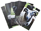 KnitPicks Greeting Cards - Sheep